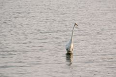 Great White Egret Wades in Bay at Sunrise Stock Image