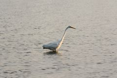 Great White Egret Wades in Bay at Sunrise Stock Photography