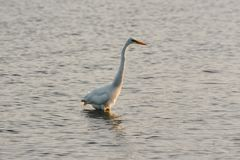 Great White Egret Wades in Bay at Sunrise Royalty Free Stock Photo