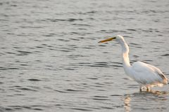 Great White Egret Wades in Bay at Sunrise Stock Images
