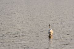 Great White Egret Wades in Bay at Sunrise Royalty Free Stock Photos