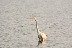 Great White Egret Wades in Bay at Sunrise Stock Photo