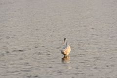Great White Egret Wades in Bay at Sunrise Royalty Free Stock Image