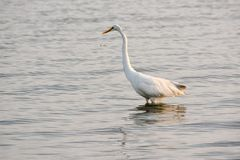 Great White Egret Wades in Bay at Sunrise Royalty Free Stock Photography