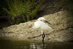 Great white egret. Wades in wetland pond Stock Photography