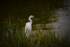 Great white egret. Wades in wetland pond Royalty Free Stock Images