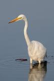 Great white egret wading Royalty Free Stock Photo