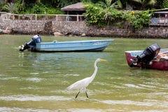 Great white egret walking along lake bank with blue boat in the background, Marapendi Lagoon, Rio de Janeiro.  stock photos