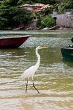Great white egret walking along lake bank with boats in the background, Marapendi Lagoon, Rio de Janeiro. Great white egret walking along lake bank with blue stock image