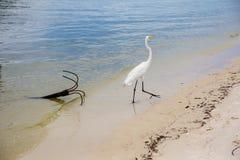 great white egret walking along lake bank with iron anchor by the shore, Marapendi Lagoon, Rio de Janeiro. Royalty Free Stock Images