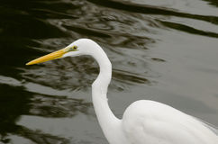Great White Egret with Water background Stock Photos