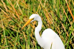 Great white egret in wetland Stock Photography
