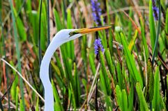 Great white egret in wetlands Stock Photos