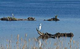 Great White Egret or White Heron Royalty Free Stock Image