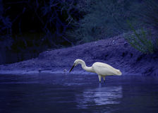 Great white Egret in the wild nature Stock Photography