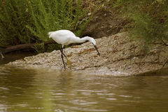 Great white Egret in the wild nature Stock Photo