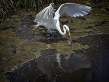 Great White Egret Royalty Free Stock Photos