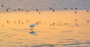 Great White Egret Stock Image