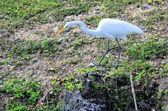Great white egret in zoo Royalty Free Stock Photography