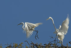 Great White Egrets Royalty Free Stock Images