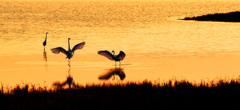 Great White Egrets Celebrate the Dawn of a New Day Stock Photo