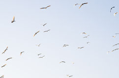 Great white egrets in the evening sky Royalty Free Stock Photo