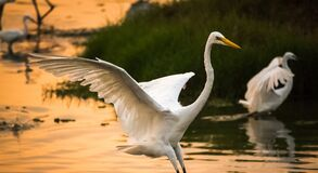 Free Great White Egrets Hunting Fish In The Marshland Waters. White Heron With Water Background Royalty Free Stock Images - 214358199