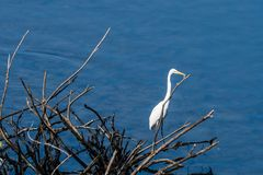 Great white egrets standing on a branch Royalty Free Stock Images