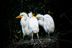 Great White Egrets Stock Photos