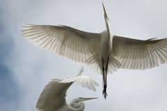 Great White Flying Egret royalty free stock images