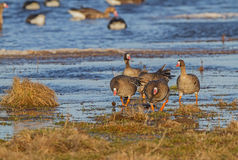 Great White-fronted Geese Royalty Free Stock Photo