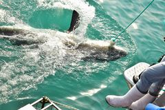 Great White haj som fångar kött för att locka nästan att dyka buren arkivfoto