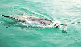Great White haj som jagar ett k?ttdrag och bryter igenom havsyttersida royaltyfri fotografi