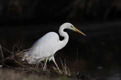Great white heron. By partial light metering this bird was separated from the background Stock Image