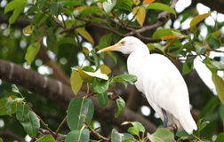 Great white heron. Perched on a tree branch Stock Photography