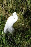 Great white heron Stock Photo