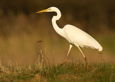 Great white heron. In the field Royalty Free Stock Photos