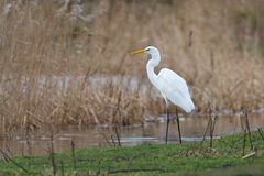 Great white heron. A great white heron in a national park Royalty Free Stock Photo