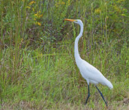 Great White Heron. A Great White Heron bird walking through a grassy area Stock Images