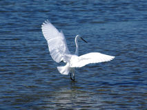 Great white heron. A Great white heron flying near Capoterra (Sardinia - Italy Stock Images