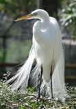 Great White Heron. Portrait of a Great White Heron standing on a tree branch Royalty Free Stock Photography