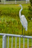 A Great White Heron ardea herodias occidentalis Royalty Free Stock Photography