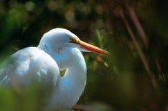 Great white heron - Ardea herodias occidentalis stock image