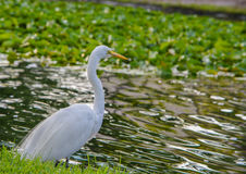 A Great White Heron ardea herodias occidentalisIn the park at the Largo Central Park in Largo, Florida. Royalty Free Stock Photo
