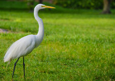 A Great White Heron ardea herodias occidentalisIn the park at the Largo Central Park in Largo, Florida. Stock Photography