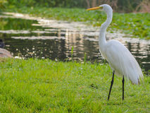 A Great White Heron ardea herodias occidentalisIn the park at the Largo Central Park in Largo, Florida. Stock Images