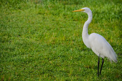 A Great White Heron ardea herodias occidentalisIn the park at the Largo Central Park in Largo, Florida. Royalty Free Stock Images