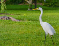 A Great White Heron ardea herodias occidentalisIn the park at the Largo Central Park in Largo, Florida. Royalty Free Stock Image