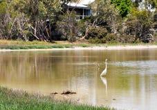 Great White Heron: Australian Wading Bird Royalty Free Stock Photography