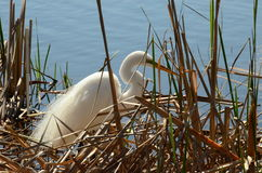 Great White Heron Royalty Free Stock Images